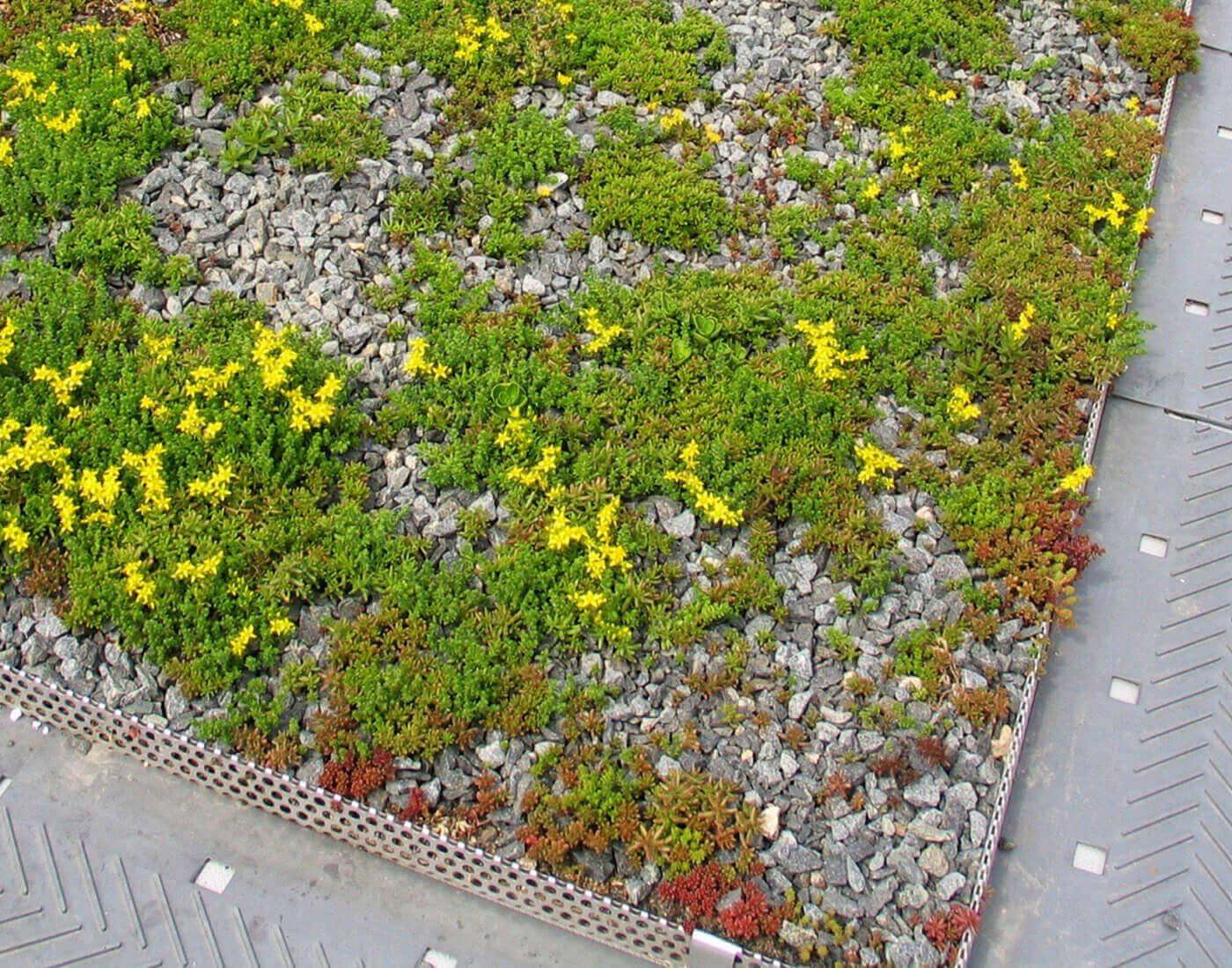 Sedum Miljötak från Urban Green. Foto: UrbanGreen.